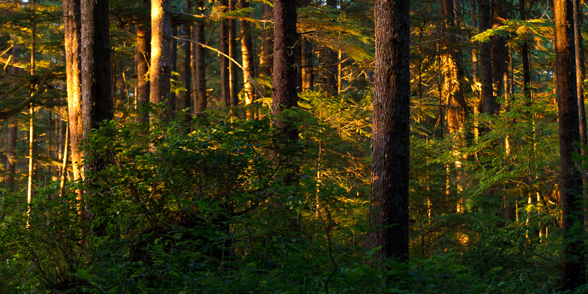 Forest sunset, Pacific Rim National Park, Vancouver Island.